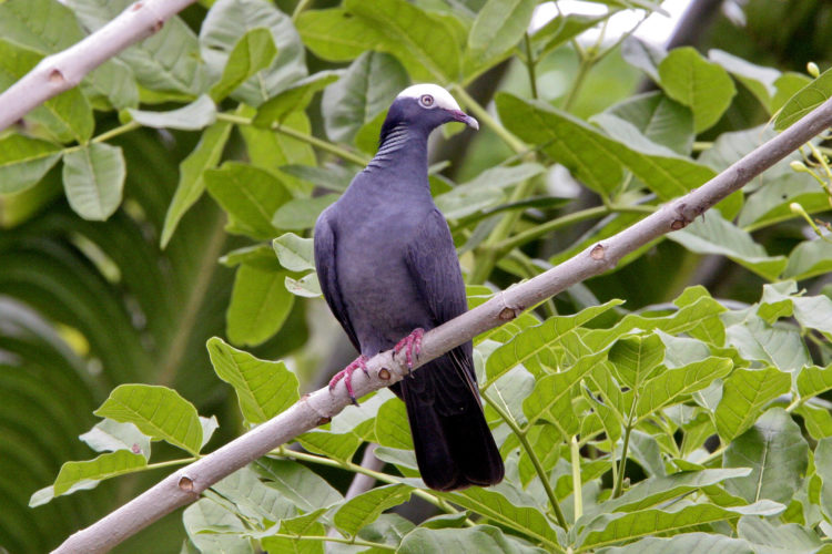 White-crowned Pigeon (Photo by Dr. Mike Pienkowski)