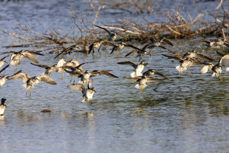 Flock of Stilt Sandpipers land in the Salinas (Photo by Dr. Mike Pienkowski)