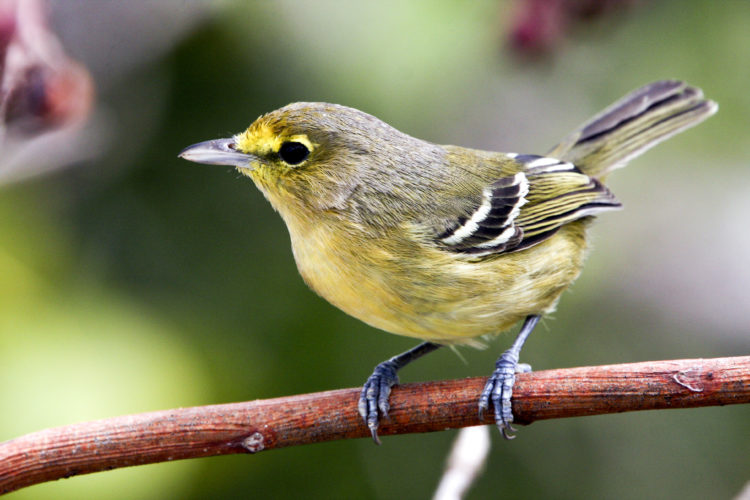 Thick-billed Vireo, subspecies restricted to TCI (Photo by Dr. Mike Pienkowski)