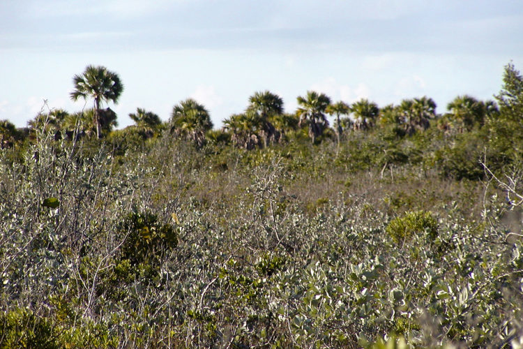 White Top Palms and Silver Buttonwoods on the flats (Photo by Dr. Mike Pienkowski)