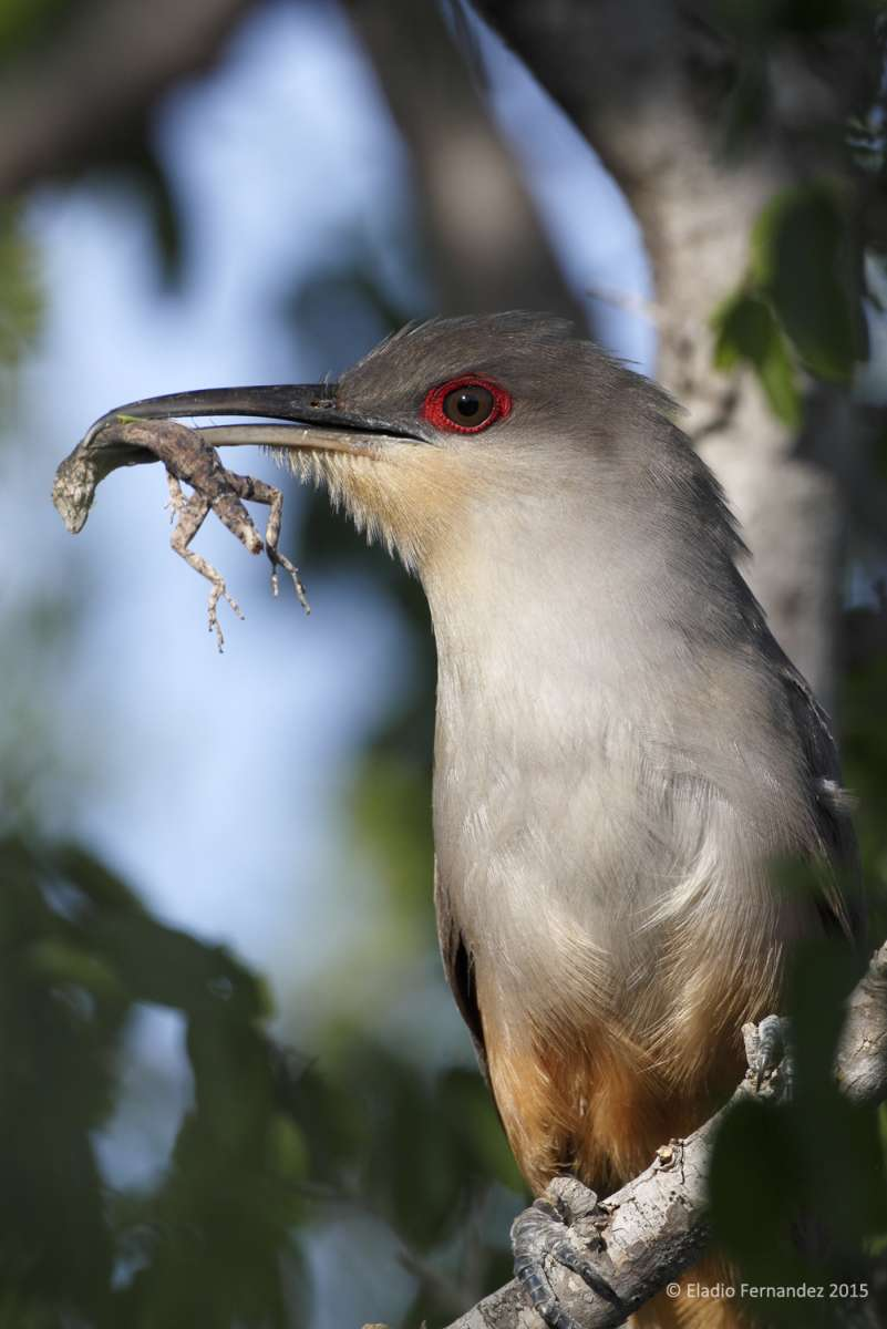 Hispaniolan Lizard Cuckoo