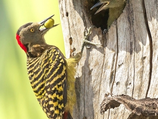 Hispaniolan Woodpecker Female-Lopez Luciano