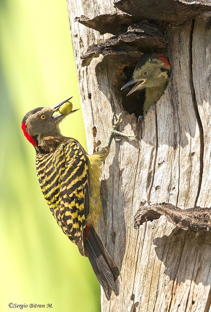 Hispaniolan Woodpecker Female-Lopez Luciano