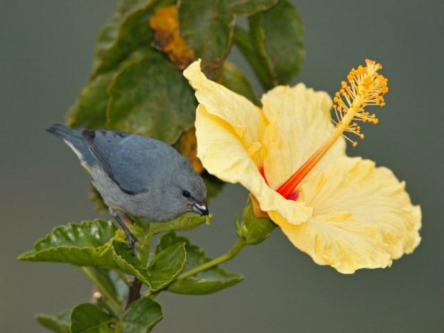 Jamaican Euphonia