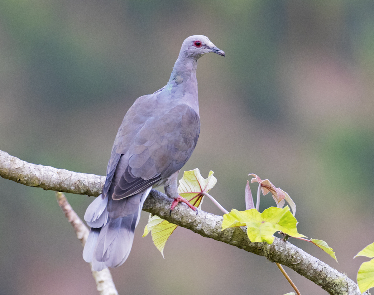 Ring-tailed Pigeon