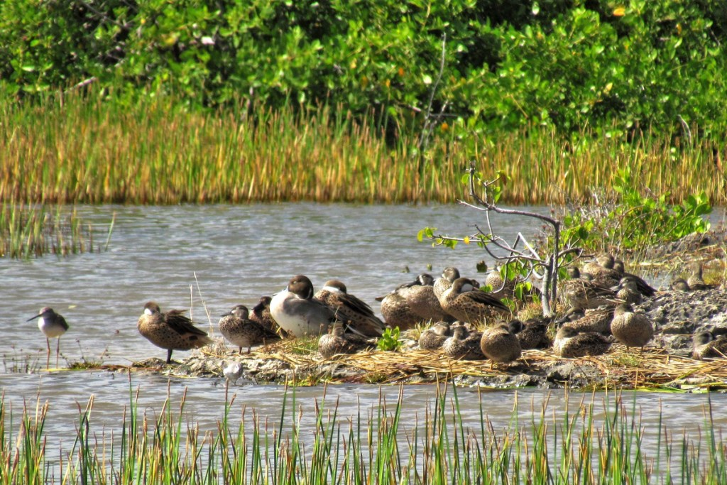 Northern Pintails, Blue-winged Teals, White-cheeked Pintails, and Greater Yellowlegs