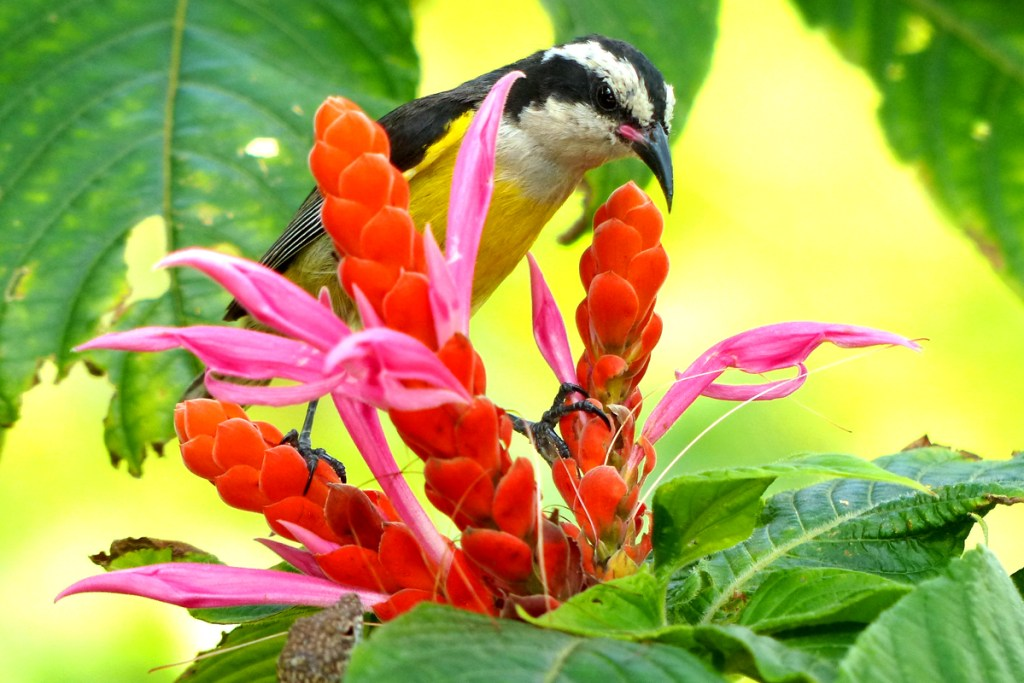 A Cayman Bananaquit seeks nectar from an exotic flower in the Colour Gardens