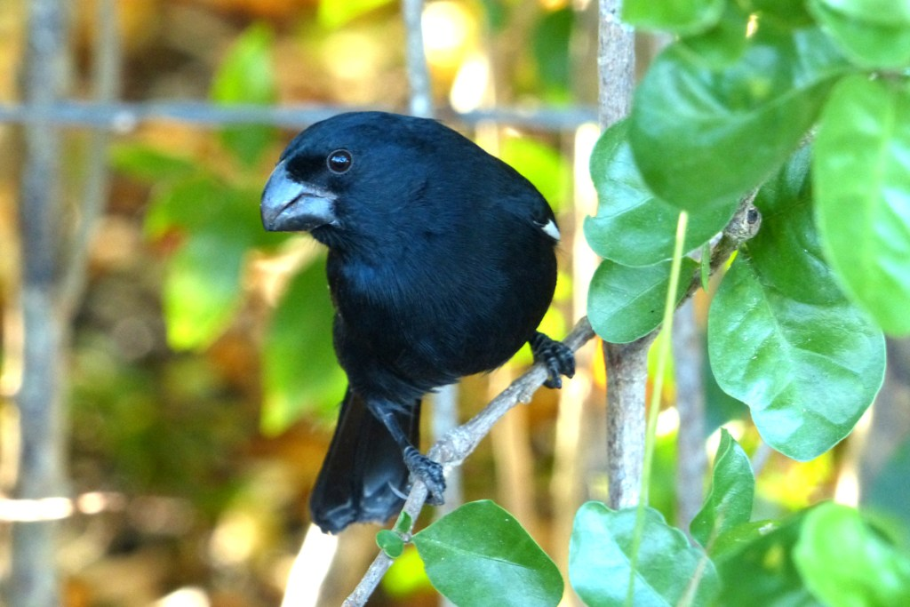 Cayman Bullfinch, recognized by some authorities as a full species, unique to Grand Cayman, while others still consider it a sub-species of the Cuban Bullfinch