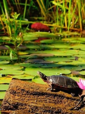 Outdoor Garden Ponds How To Take Care Of A Turtle