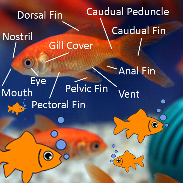 parts of a cell diagram 5 pin trailer plug wiring australia goldfish anatomy: body, eyes, ears, nose, gills, scales, more