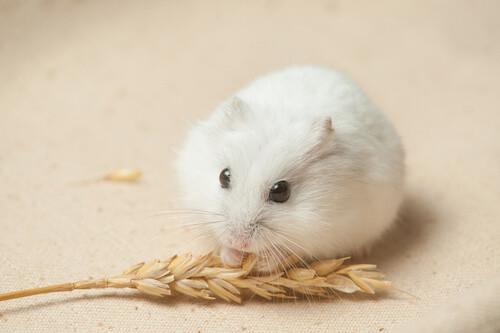 Types Dwarf Hamsters | 500 x 333 jpeg 24kB