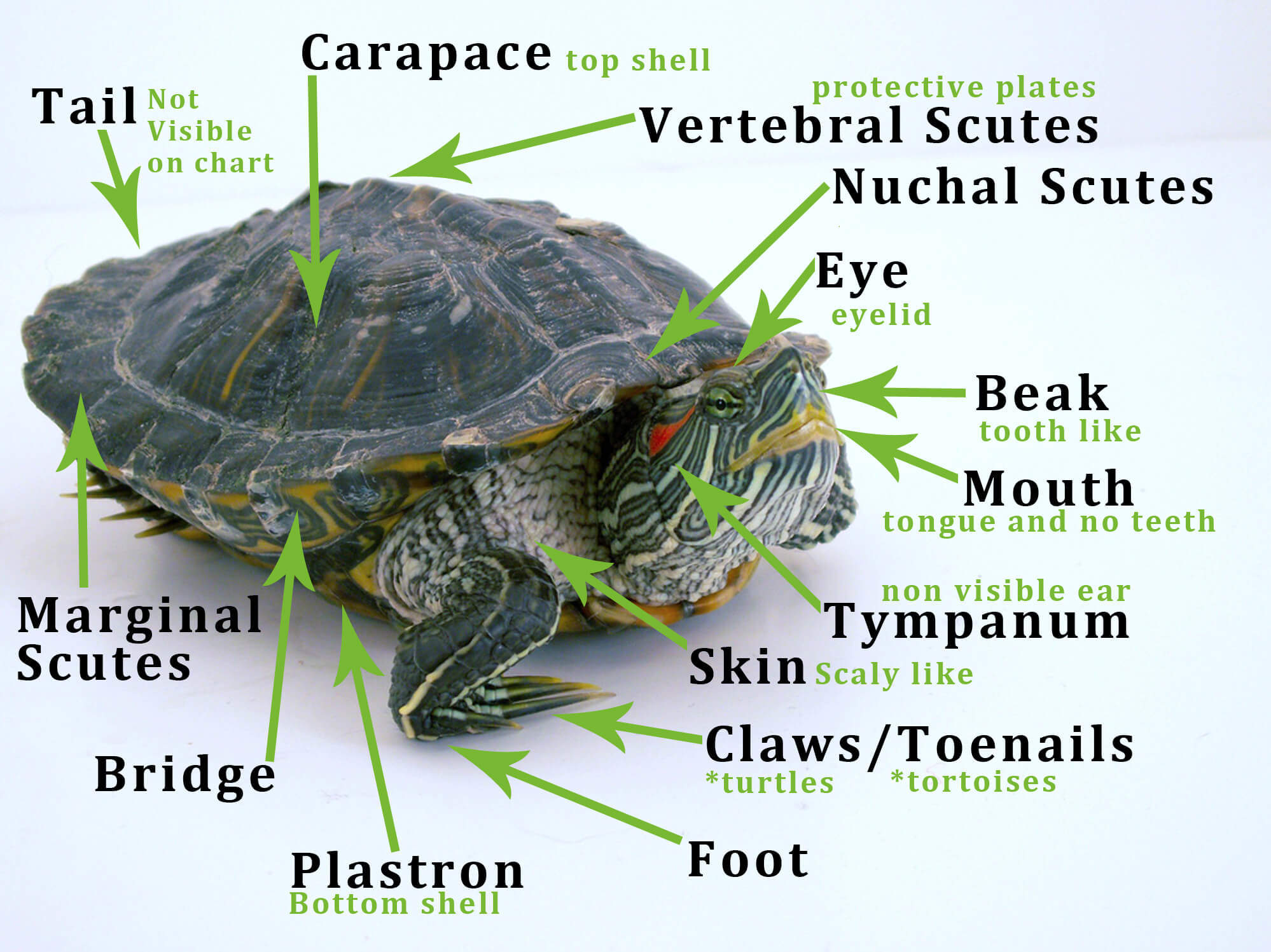 turtle anatomy diagram ford transit central locking wiring types of turtles and tortoises how to take care a