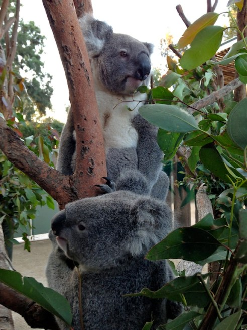 Up close and personal with the resident koalas.