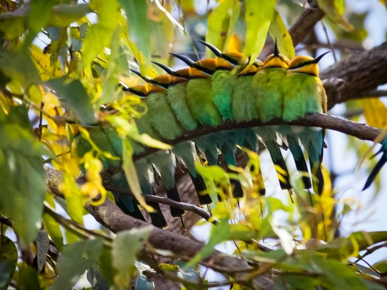 A bevy of rainbow bee eaters.