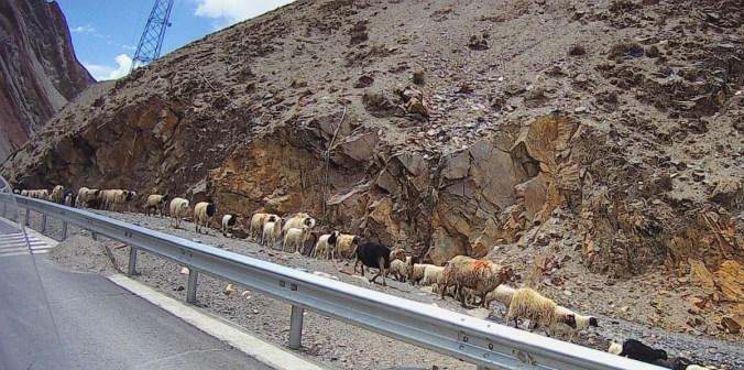 Sheep and rocks.