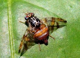 mosca da fruta/Foto reprodução Internet
