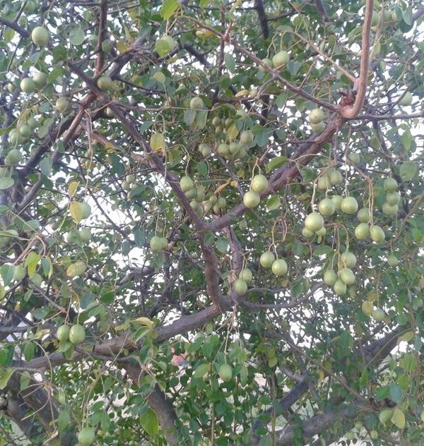 Umbuzeiro - frutos
