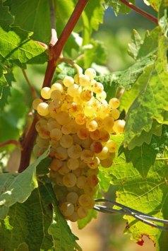 """Viñas y uvas """"Vernaccia di San Gimignano"""