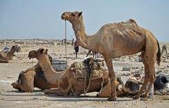 Camellos esperando su carga