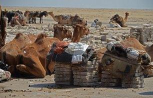 Camellos con lingotes de sal