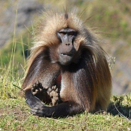 """Montes Simien: Babuíno """"Gelada"""""""