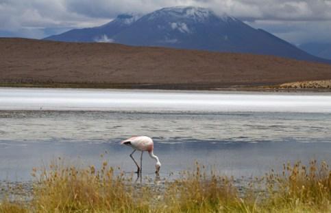 Flamencos en laguna Cañapa