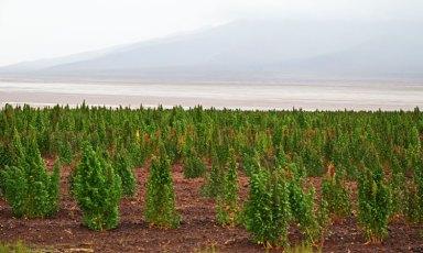 Cultivos de quinoa junto al Salar de Chiguana