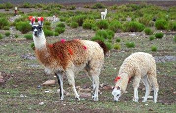 Llamas domésticas en San Juan del Rosario