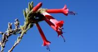 Tipón. Flor de Kantuta