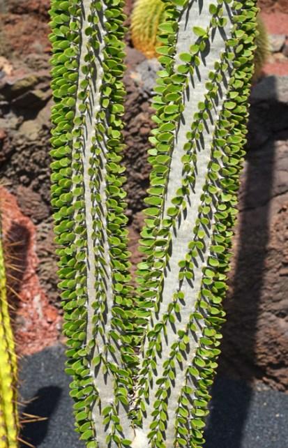 Ejemplos de cactus