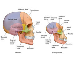 chimpanzee skull diagram causal loop template zoology | life science & biomedical carlson stock art