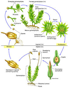 dicot leaf diagram 2005 softail deluxe wiring botany | life science & biomedical carlson stock art