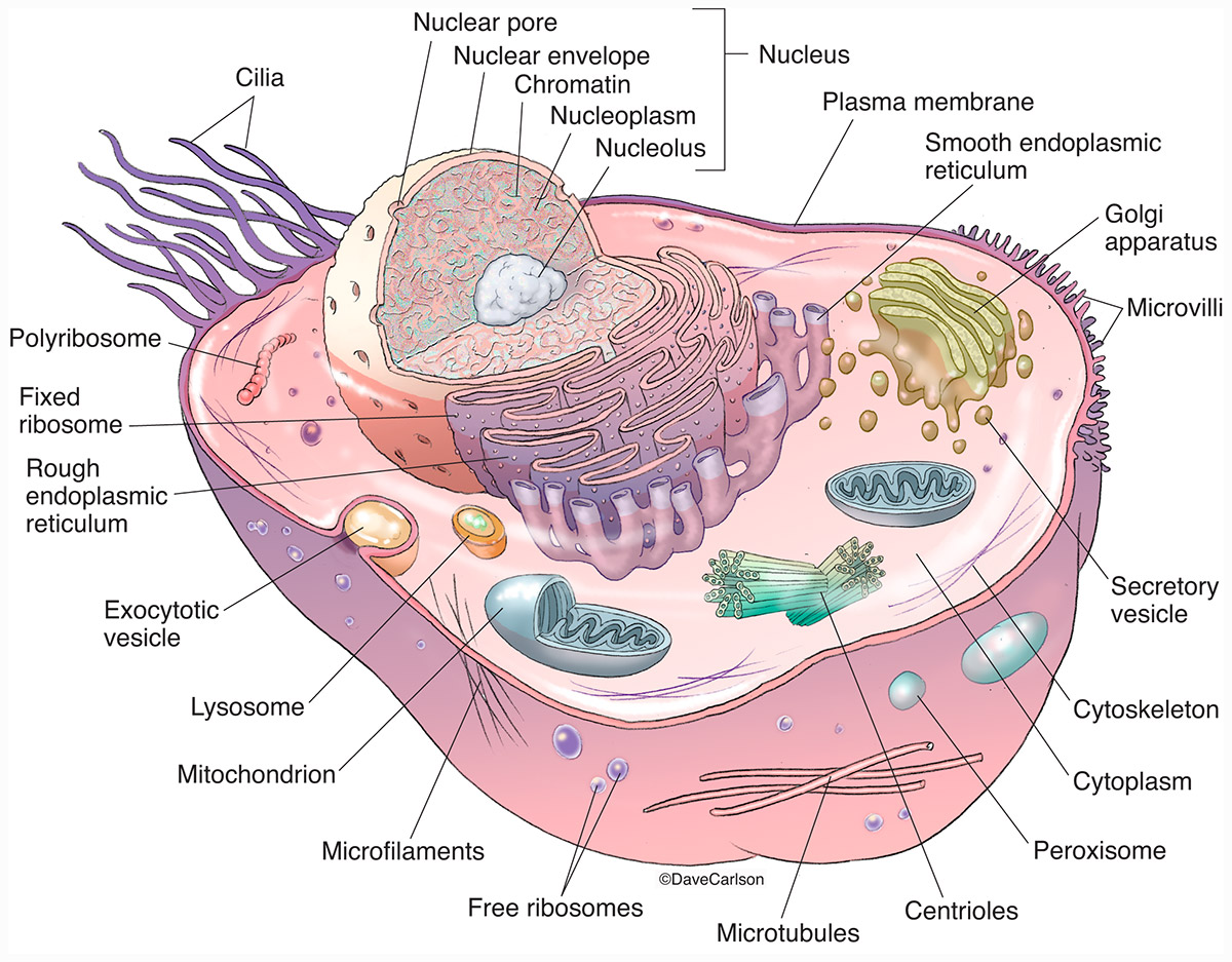 endoplasmic reticulum animal cell diagram 2005 chevy impala parts structure carlson stock art