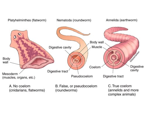 small resolution of body cavity diagram labeled