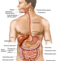 illustration gastrointestinal organs digestive tract human body g i tract photo [ 932 x 1200 Pixel ]