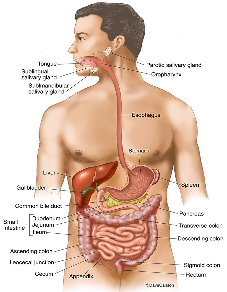 hight resolution of illustration gastrointestinal organs digestive tract human body g i tract photo