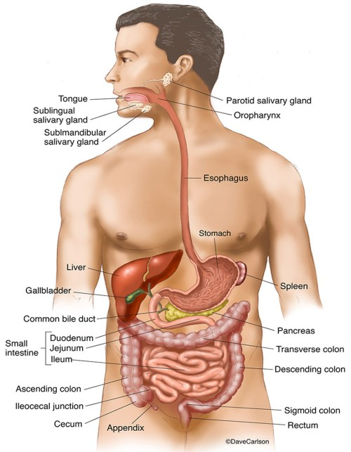 small resolution of illustration gastrointestinal organs digestive tract human body g i tract photo