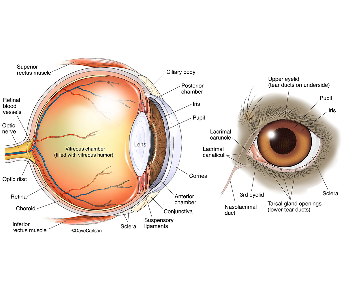 hight resolution of dog eye anatomy carlson stock art dog eye diagram vs people eye diagram dog eye anatomy