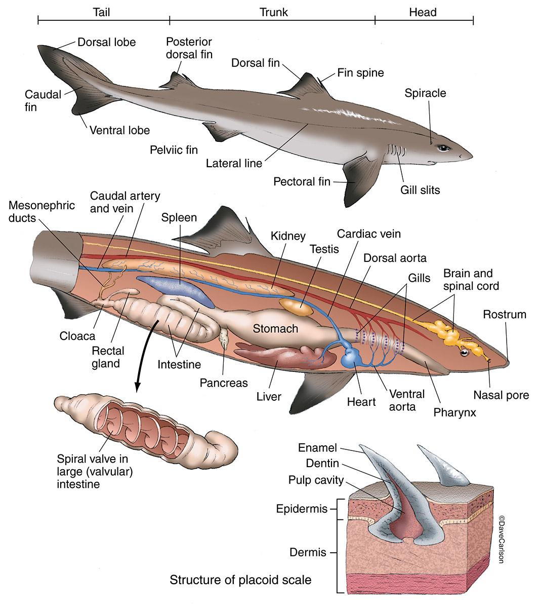 External Anatomy Of A Shark