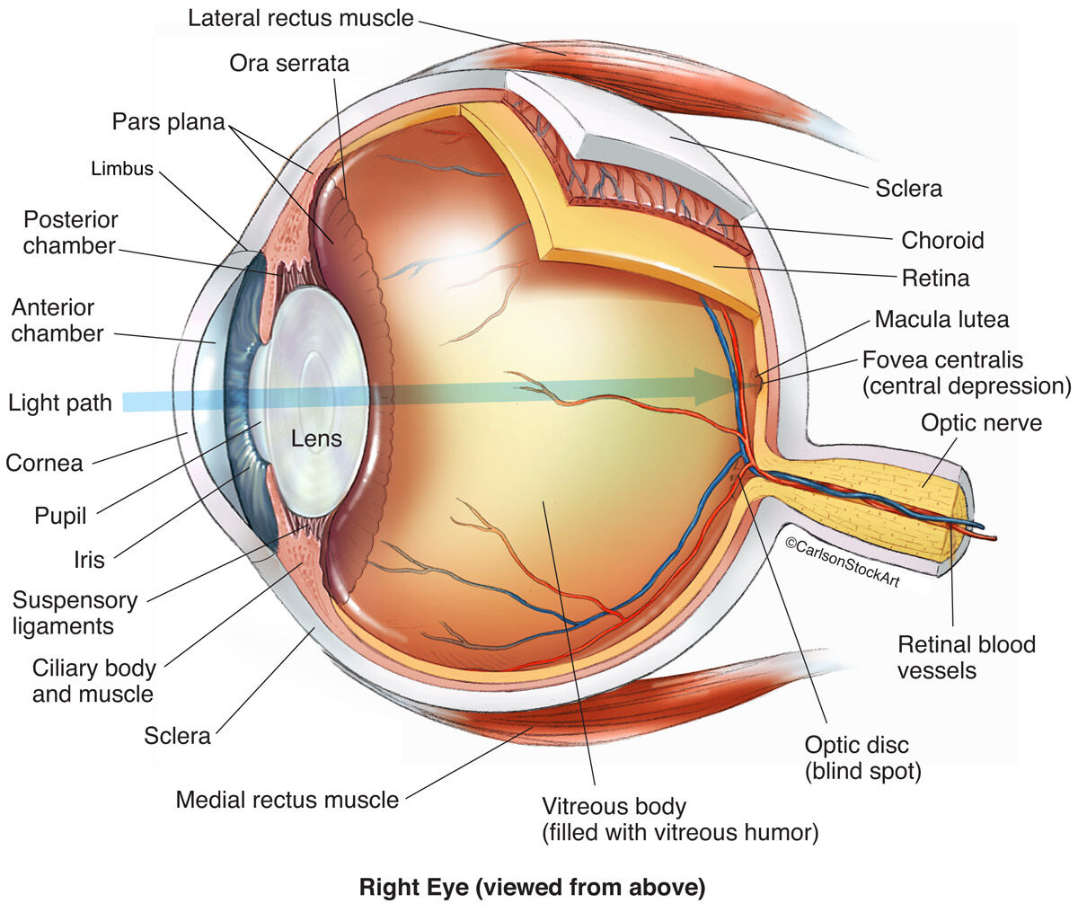 human eye diagram blind spot 1997 bmw z3 radio wiring anatomy 1 illustration carlson stock art