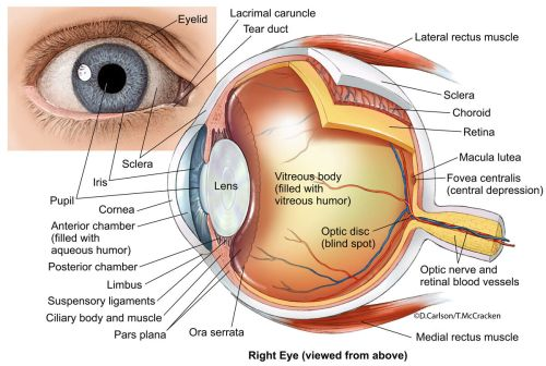 small resolution of anatomical diagram of the human eye