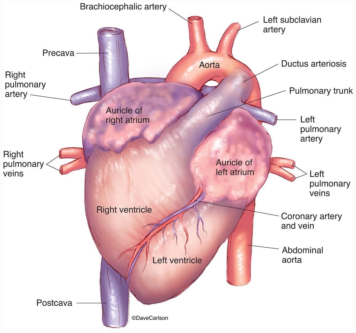 Fancy Fetal Pig Heart Anatomy Ensign - Physiology Of Human Body ...