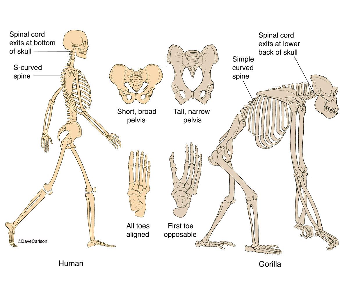 Human Amp Gorilla Skeletons