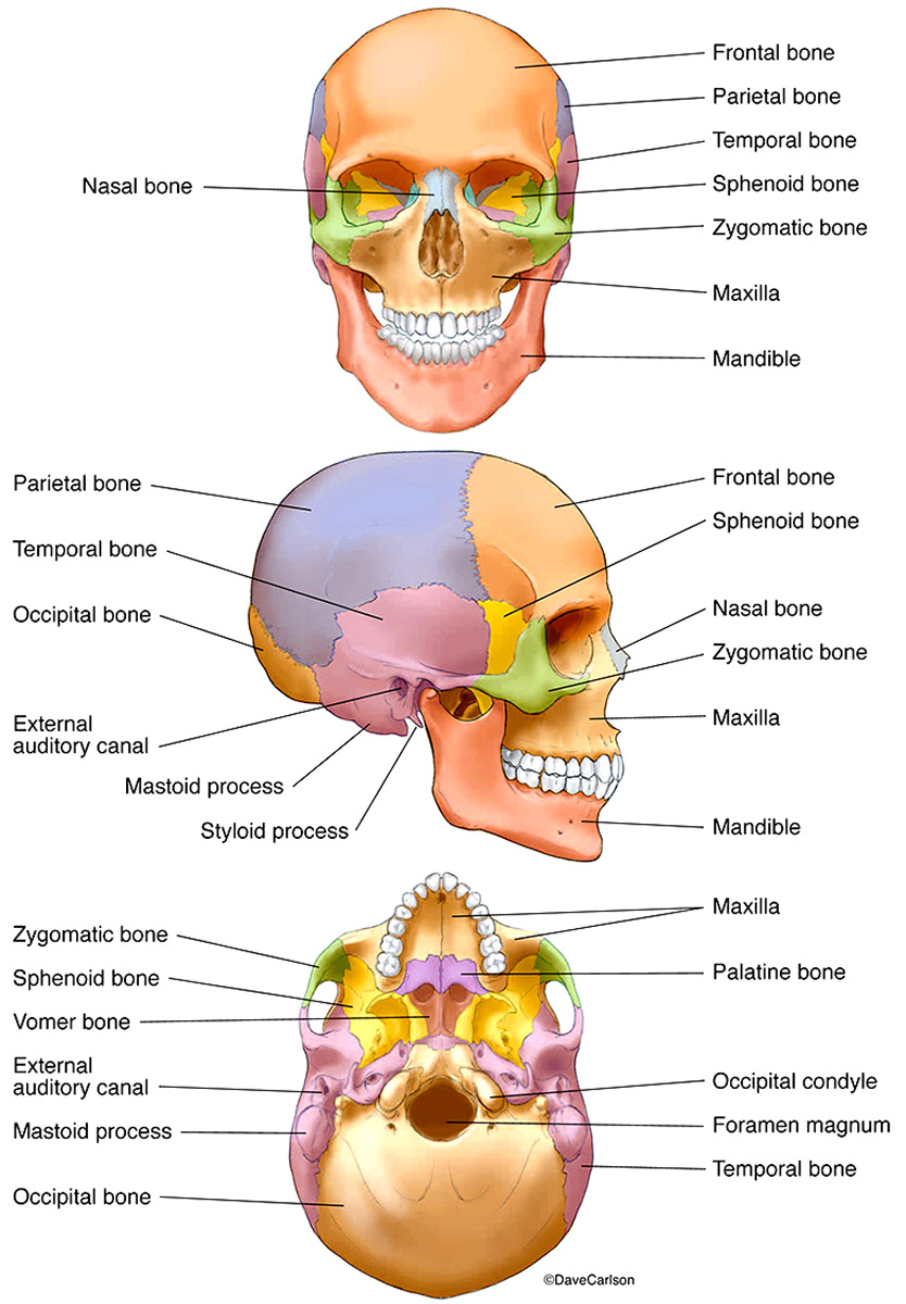medium resolution of illustration human skull labeled and color coded bones photo