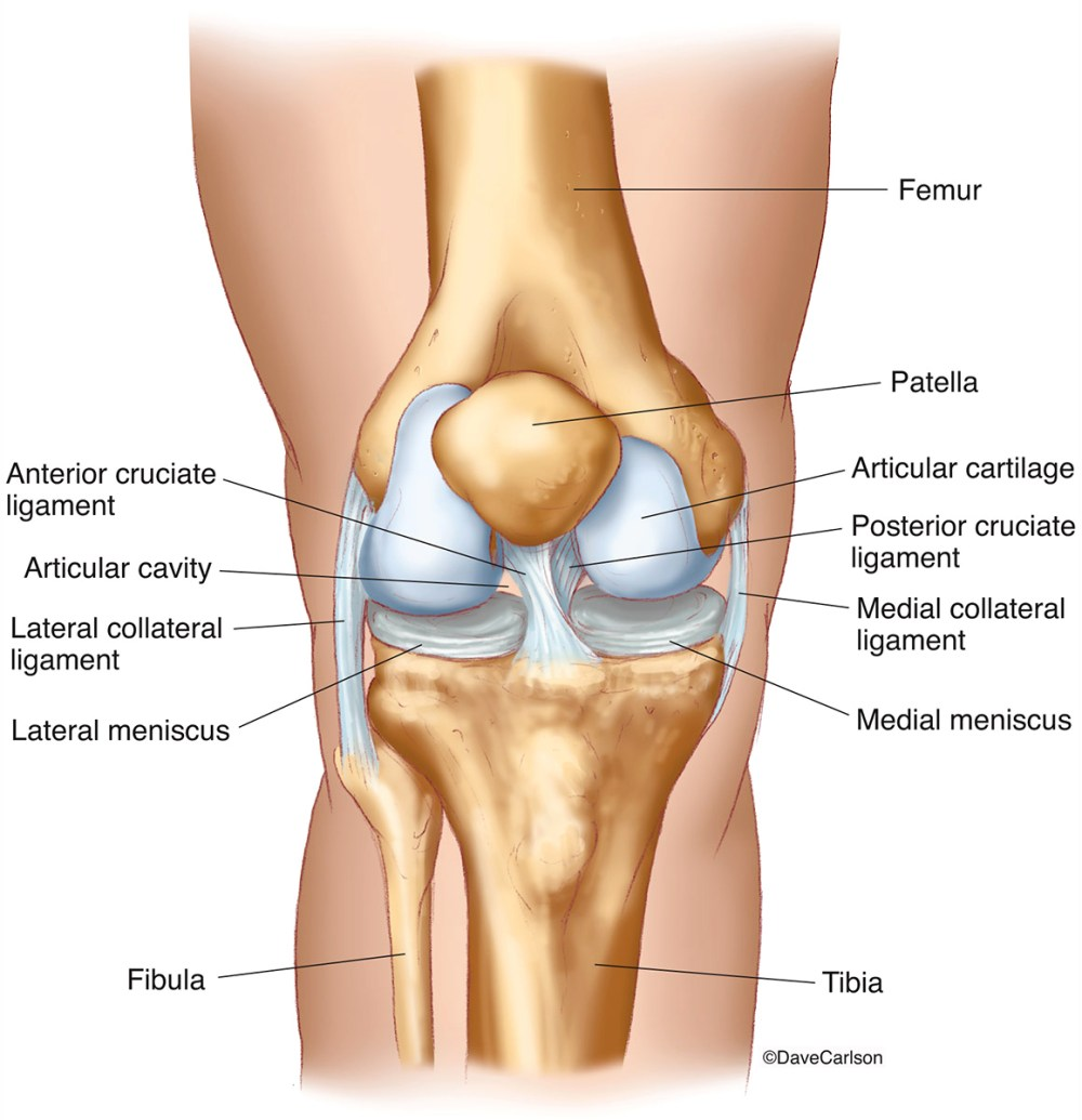 medium resolution of knee joint front view 2 carlson stock art diagram of front of knee
