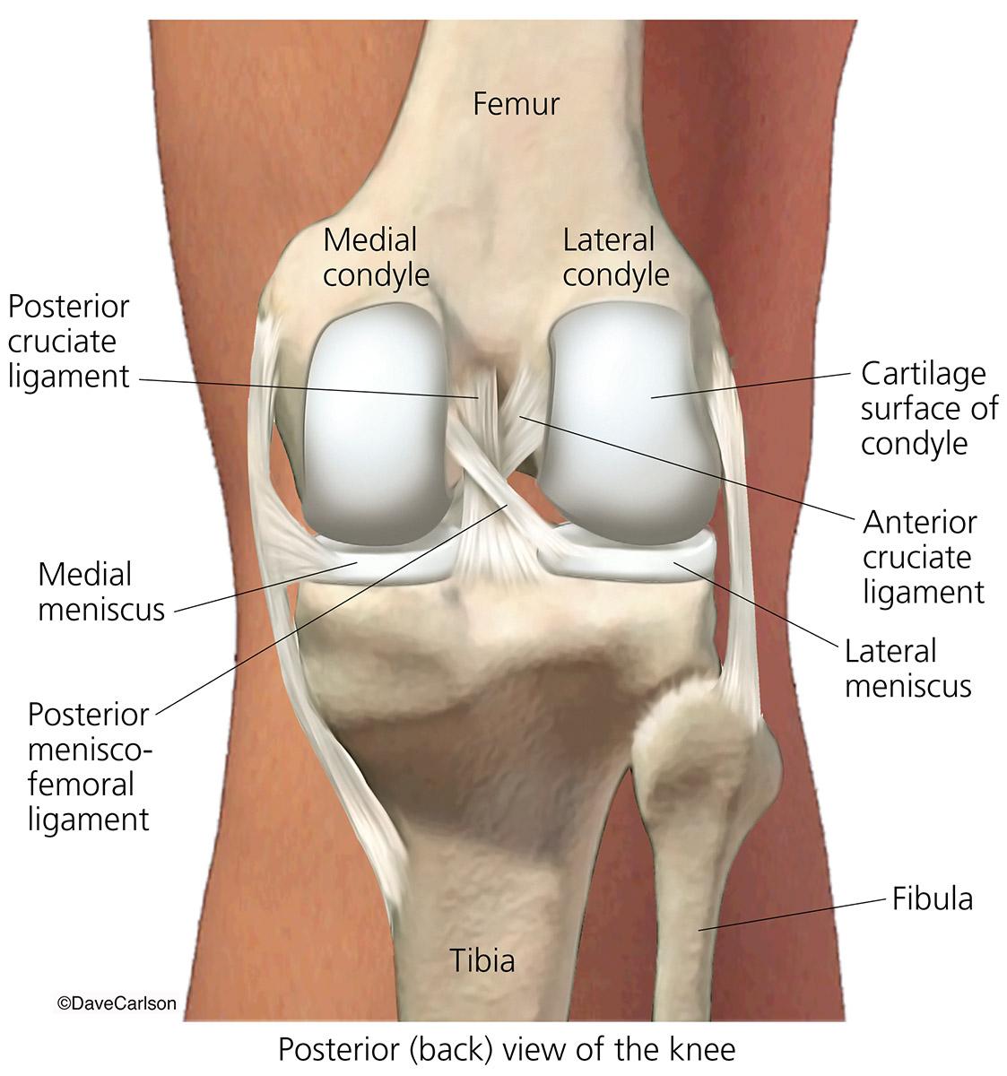 hight resolution of skeletal system human anatomy life science biomedical carlson stock art