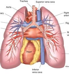 respiratory system human anatomy life science biomedical carlson stock art [ 1200 x 899 Pixel ]