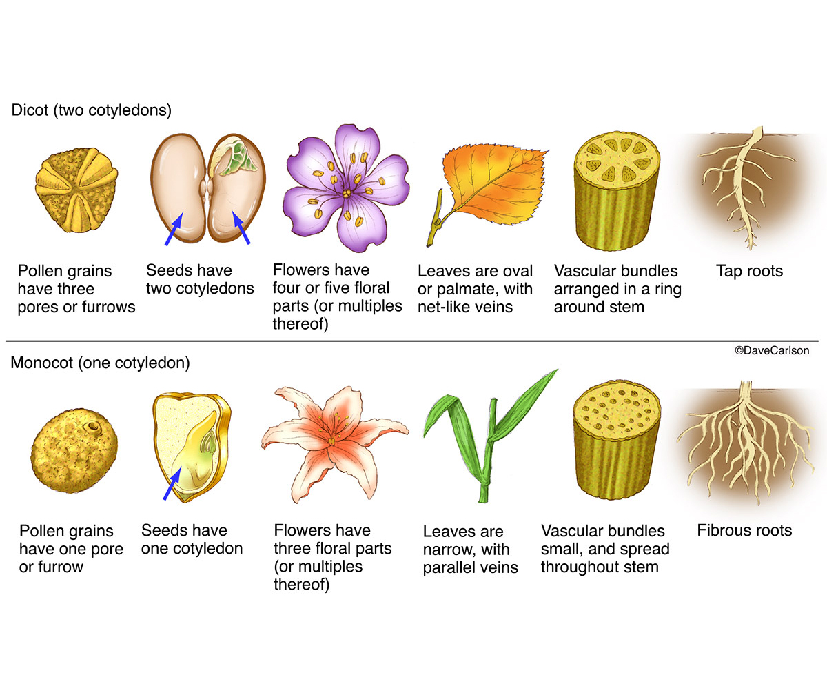 hight resolution of difference between monocot seed and dicot seed monocot seed vs