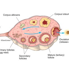 illustration diagram ovary stages of ovulation ovulation photo [ 1200 x 1008 Pixel ]