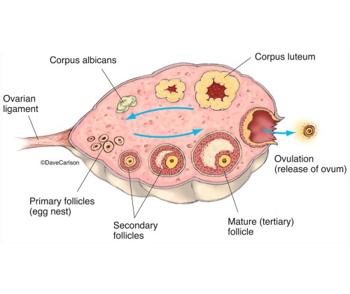 small resolution of illustration diagram ovary stages of ovulation ovulation photo